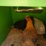 8 Rund ums Huhn
